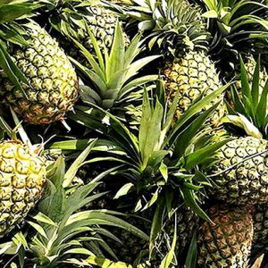 Fresh Pineapple Philippine